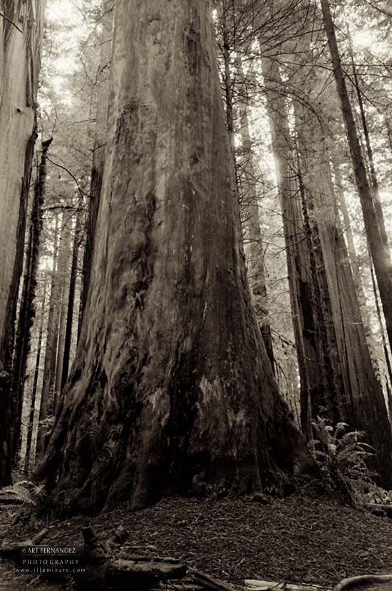 Giants After The Rain, Humboldt County, 2006