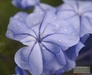 Plumbago in Winter Showers, Nov. 2006