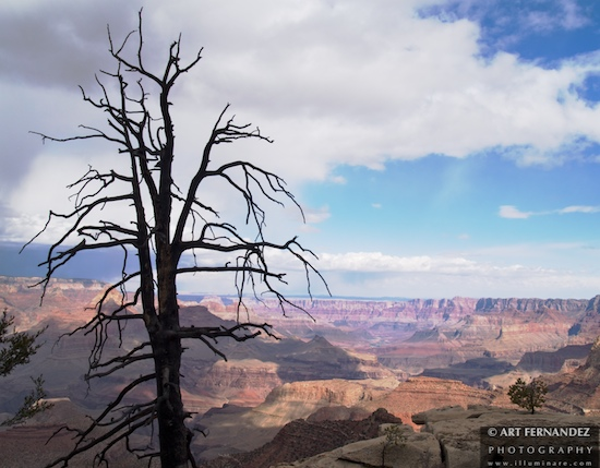 Windswept Tree & Canyon, Grand Canyon National Park