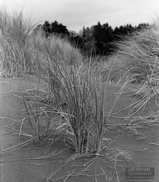 Dune Grass, Mad River State Beach, CA, 2006