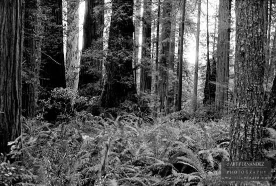 Redwoods, Lady Bird Johnson Grove, CA, 2006
