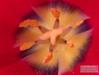 Tulip Stamen, 2006