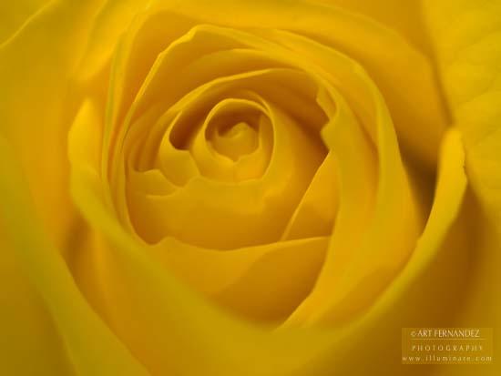 Yellow Rose, 2006