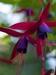 Fuscia Blossoms, 2006